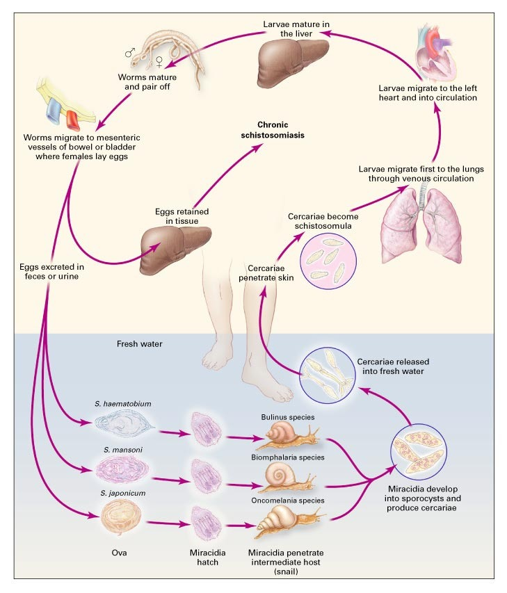schistosomiasis life cycle