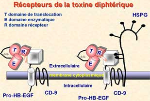 toxine diphterique cancer renal articulo