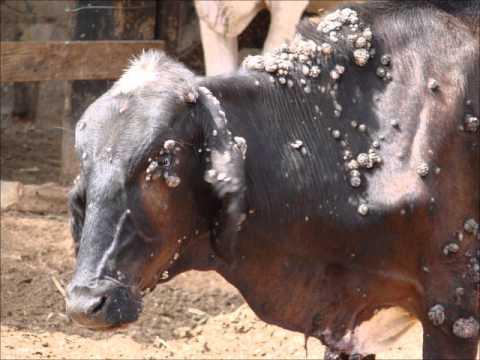tratamento papiloma bovino vestibular papillomatosis on tongue