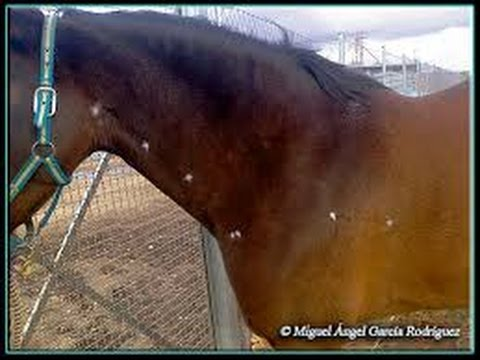 tratamiento de papilomatosis en caballos
