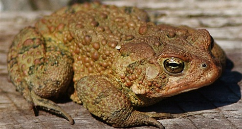 warts on hands from frogs