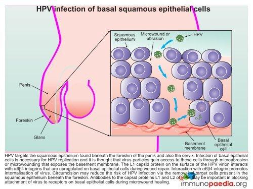 HPV ADN-detectie tipuri cu risc crescut + genotipare 16, 18 (cobas® HPV) - Synevo