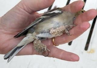 papillomatosis virus birds que es el virus del papiloma humano en la mujer