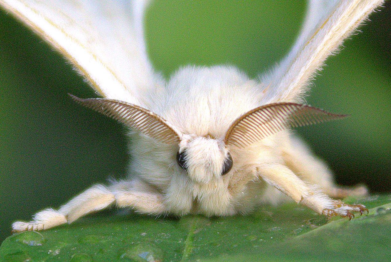 viermele este insecta