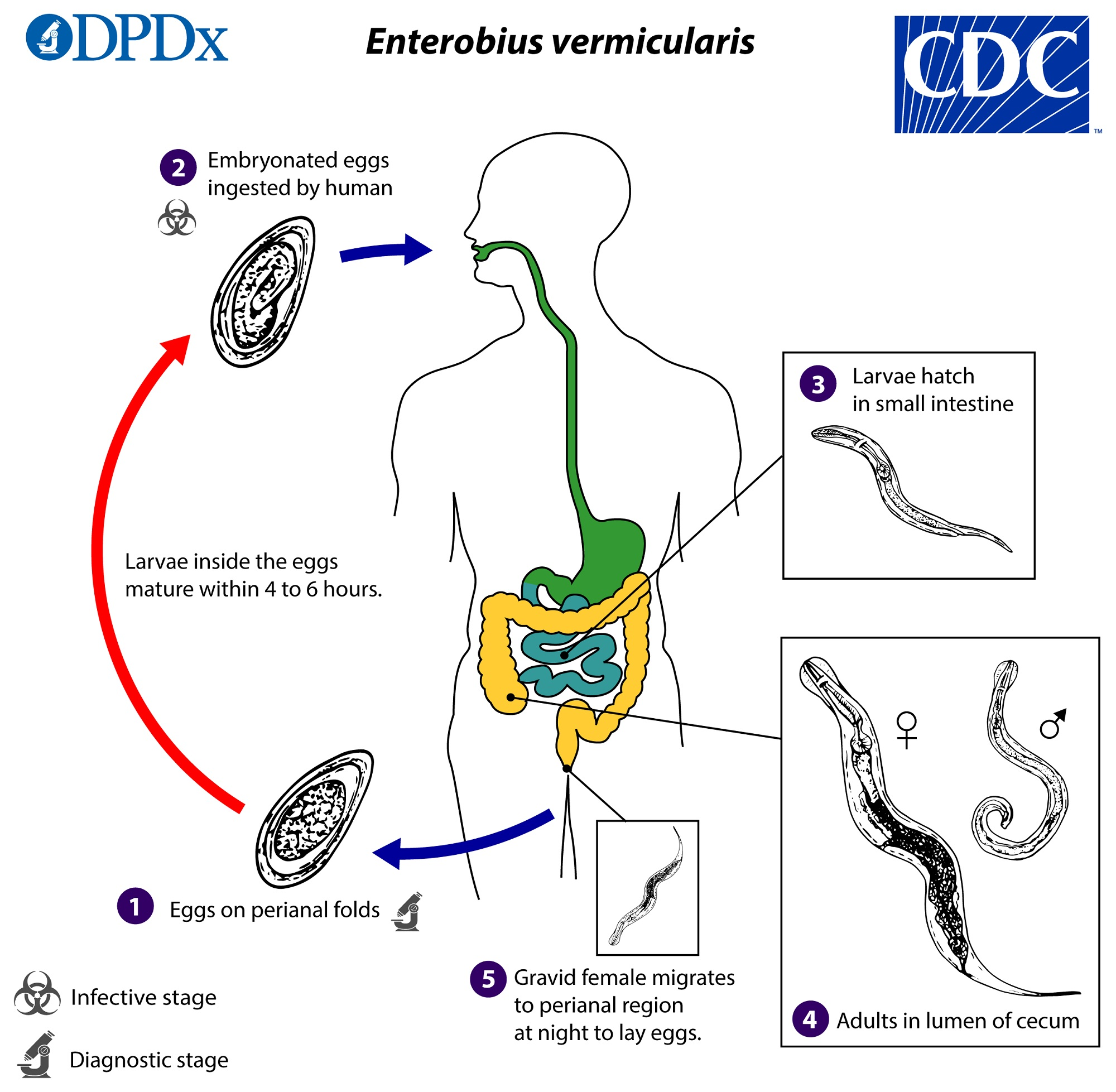 life cycle of enterobius vermicularis with diagram