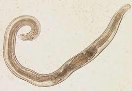 enterobius vermicularis images