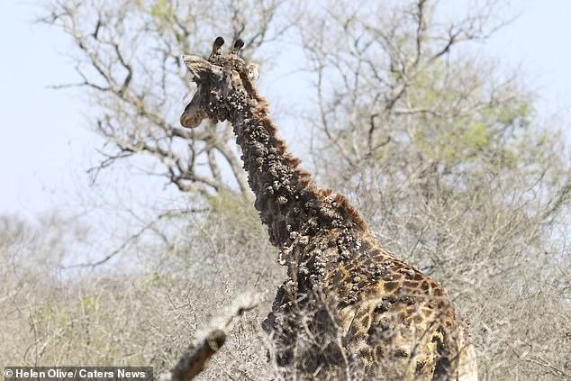 papillomavirus giraffe hpv virus loswerden naturlich heilen