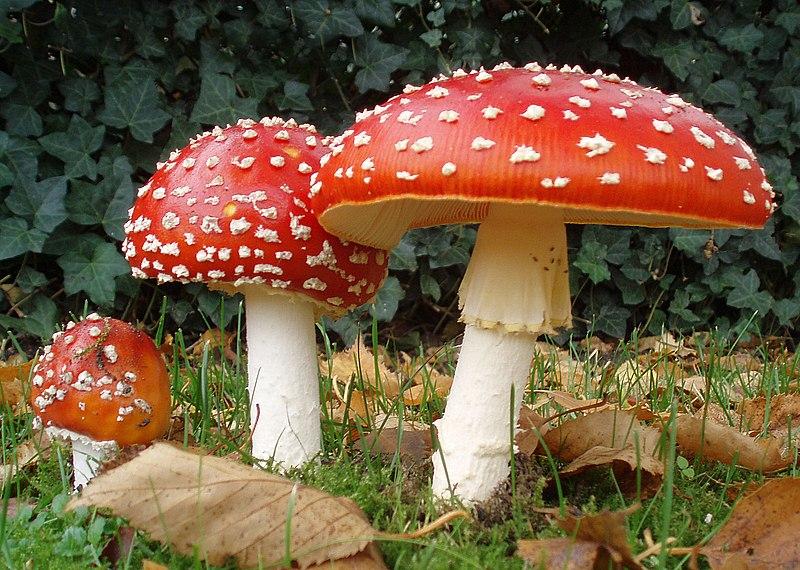 10 ciuperci otravitoare