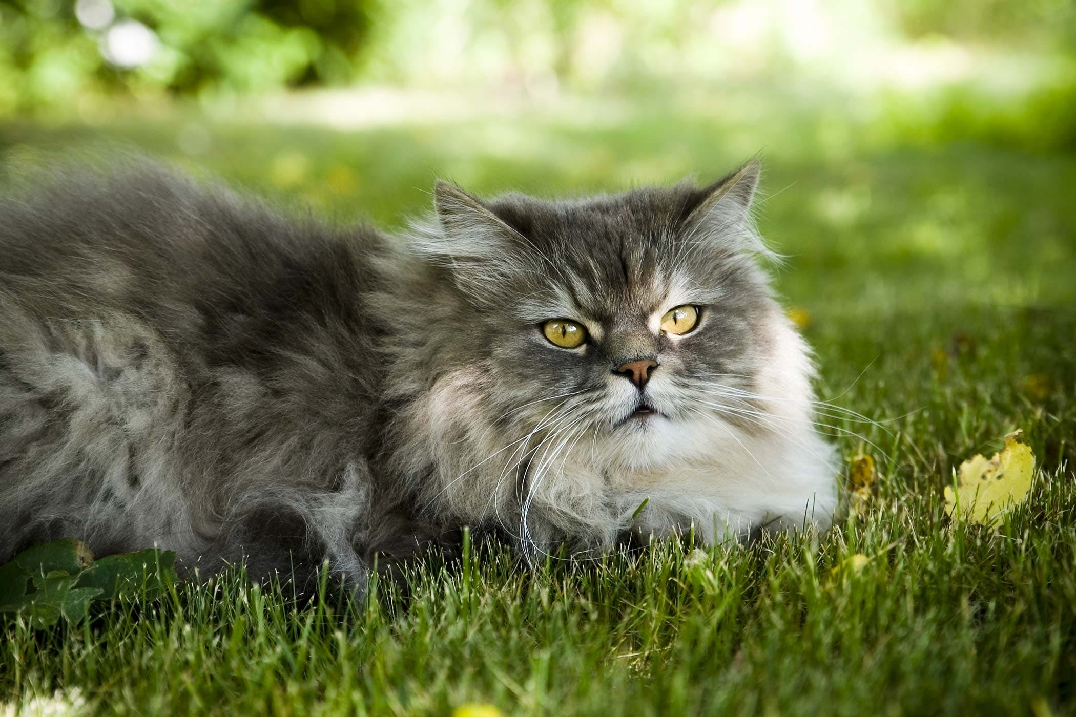 Canine and Feline Infectious Diseases