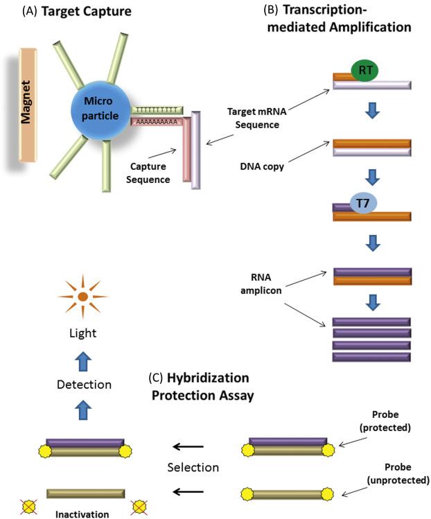 hpv high risk screen tma anti papilloma cream