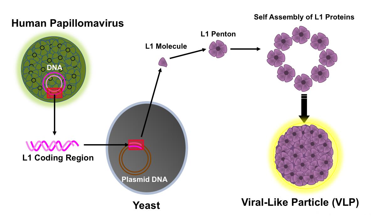 definition of human papilloma virus endometrial cancer nedir