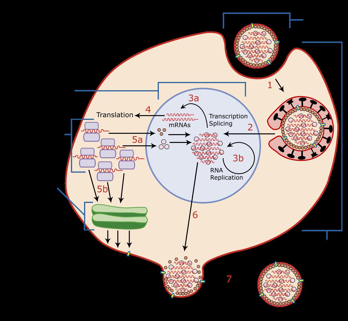 human papilloma virus latent infection