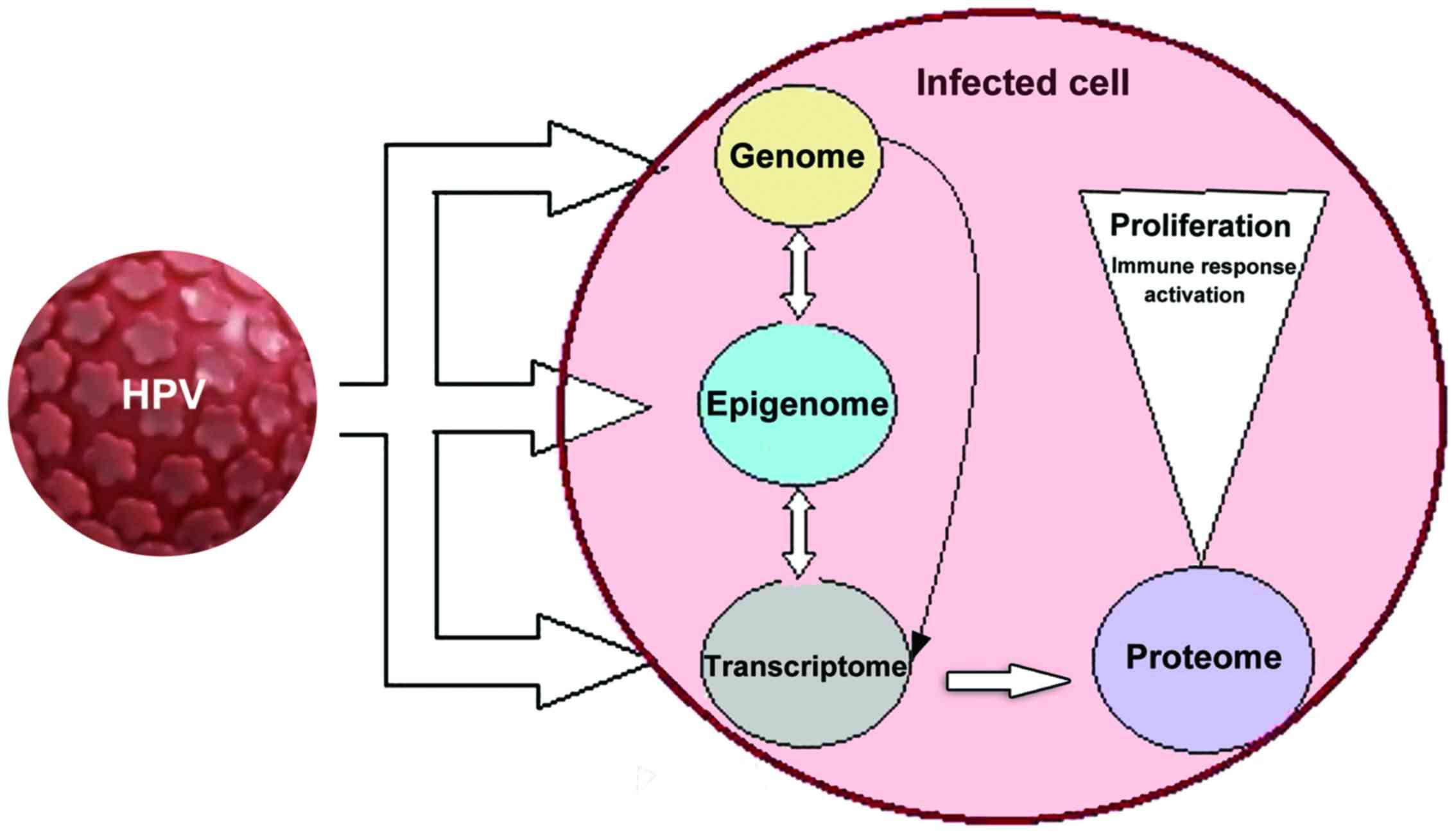the human papillomavirus family and its role in carcinogenesis papillomavirus gebarmutterhalskrebs