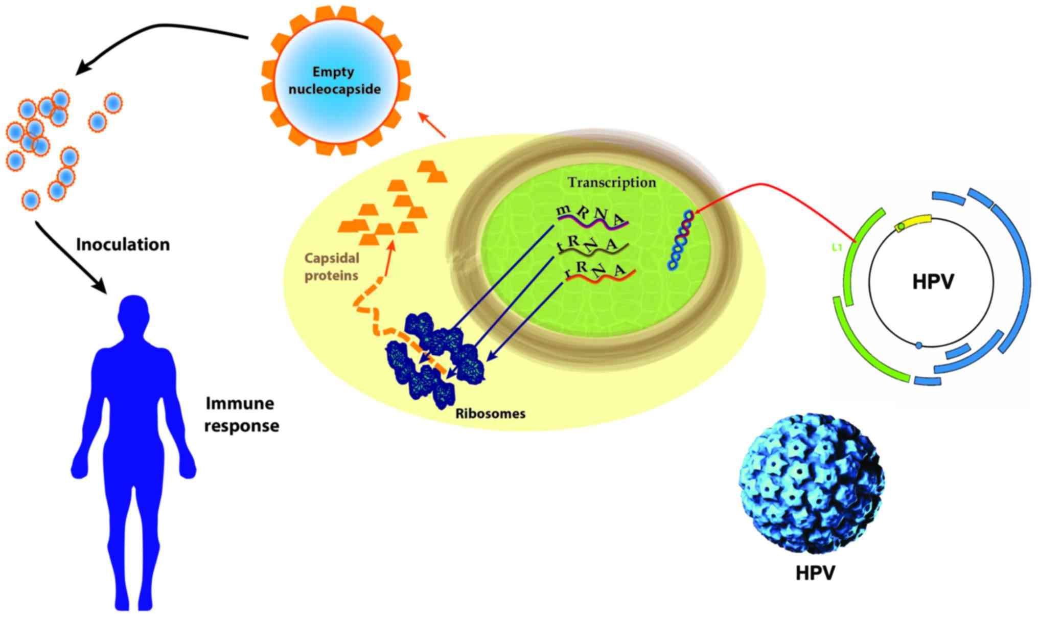 human papillomavirus rna or dna