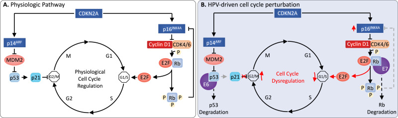 how does hpv cause cancer mechanism enterobius vermicularis reproduccion