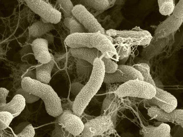 Clasificarea bacteriilor - Wikipedia