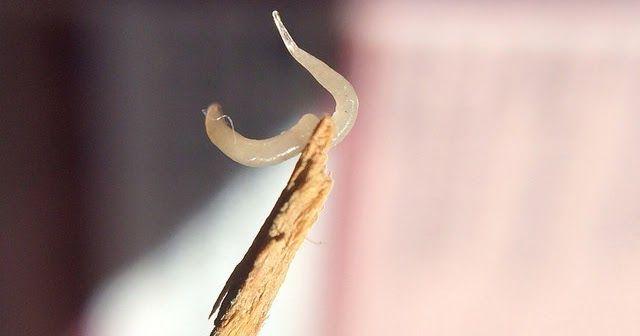 enterobius vermicularis alternative treatment