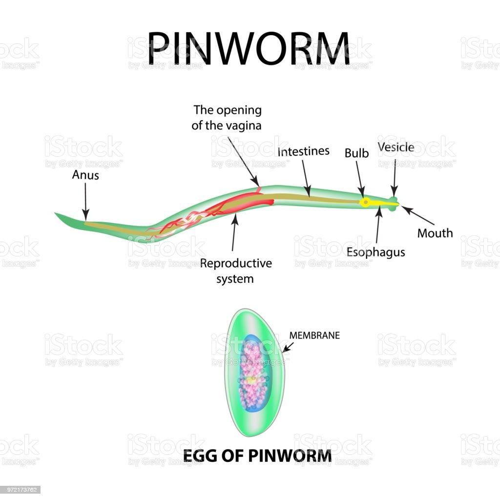 las lombrices intestinales oxiuros