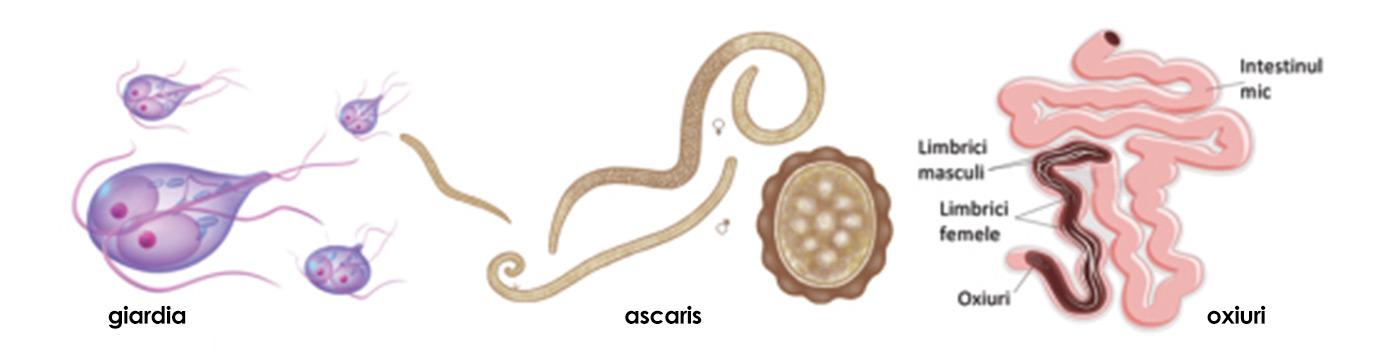 Flatulența viermilor intestinali