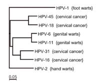 genome human papillomavirus type 6
