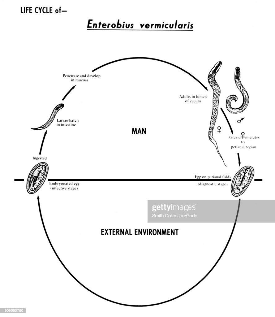 enterobius vermicularis labelled diagram