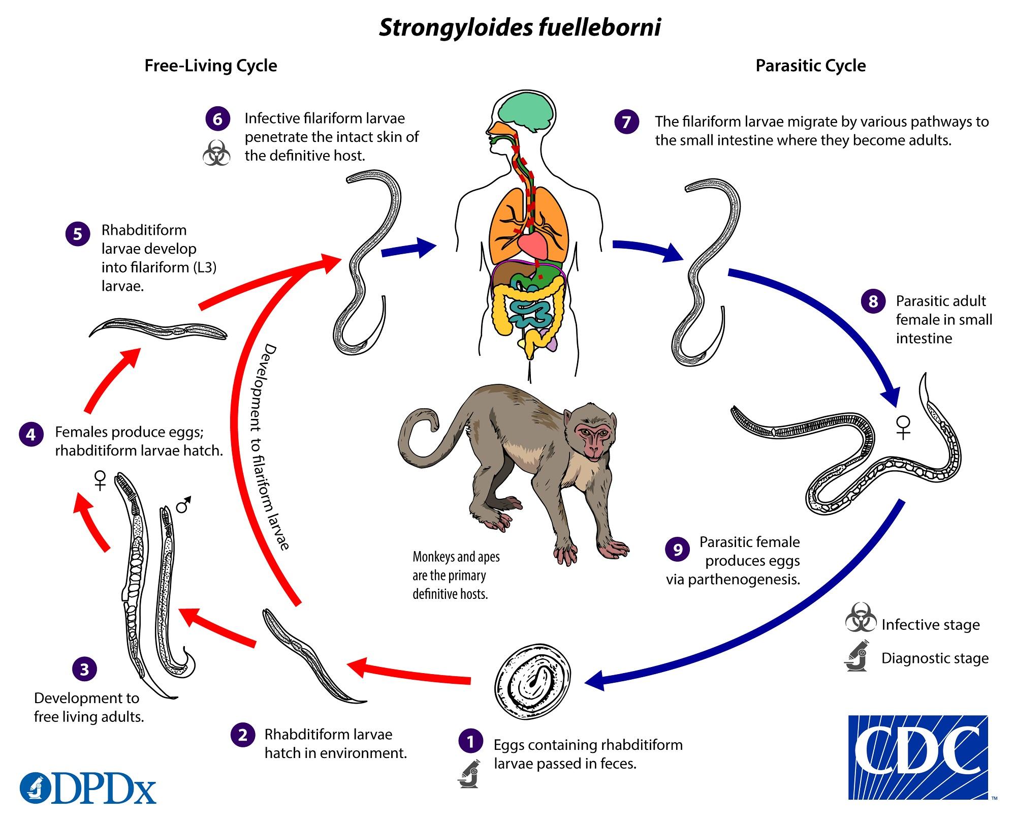 Ciclos de Vidas de Los Parasitos