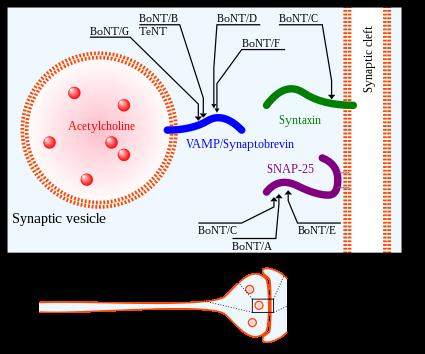hpv human papilloma