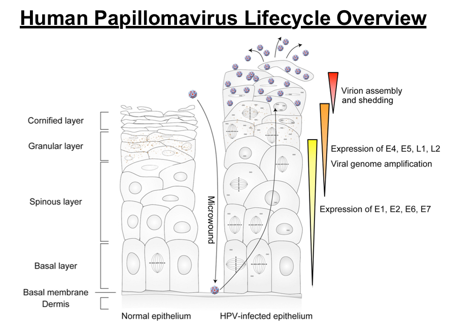 life cycle of papillomavirus