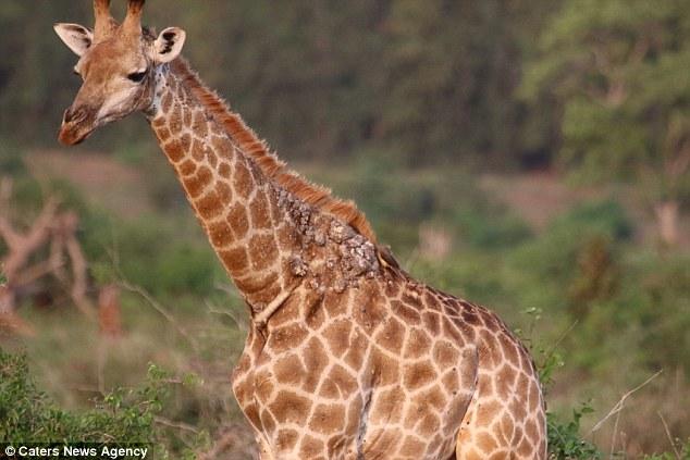 papillomavirus giraffe virus papiloma humano causas y sintomas