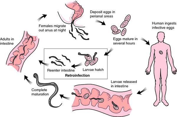 enterobiasis por enterobius vermicularis familial cancer and genes