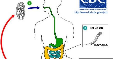 enterobius vermicularis ciclo de vida cheloo official facebook