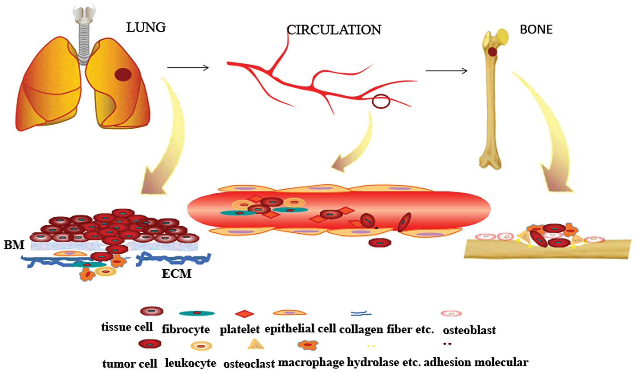 Non-small cell lung - Traducere în română - exemple în engleză   Reverso Context
