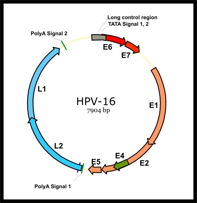 human papillomavirus especially strains 16 and 18
