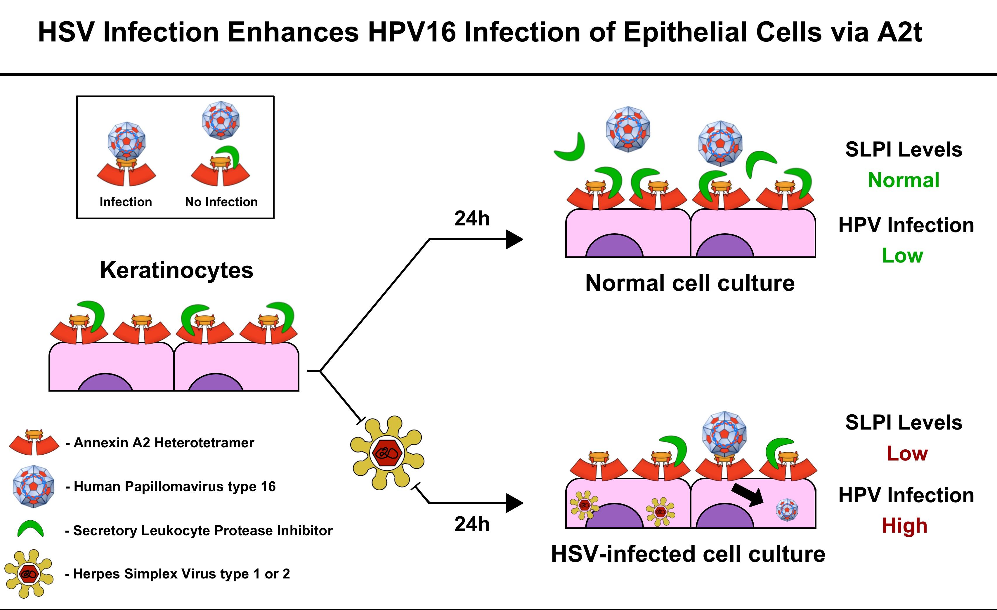 human papillomavirus infection or herpes