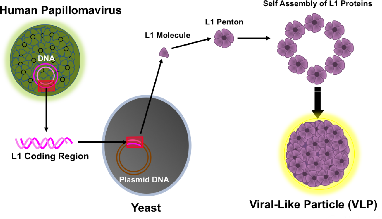 human papillomavirus vaccine production papilloma vestibular adalah