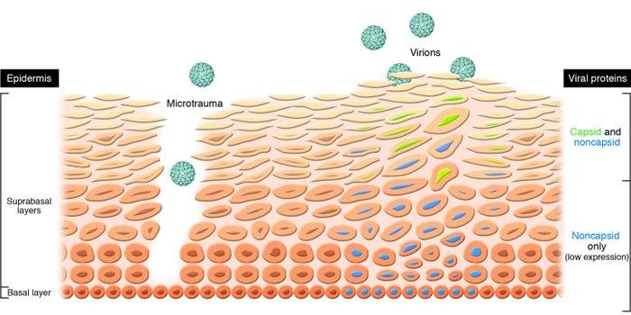 life cycle of human papillomavirus