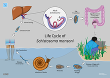 schistosomiasis is caused by