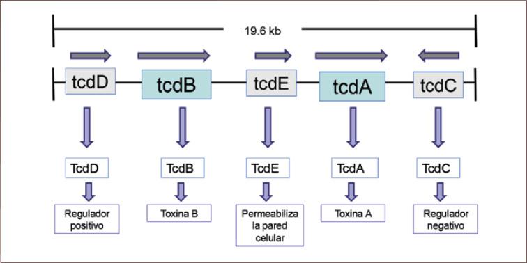 Clostridium difficile - Wikipedia